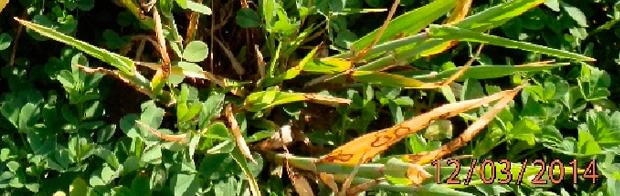 cebada con rincosporiosis en alfalfa