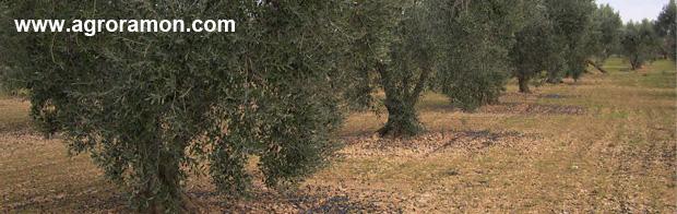 mosca del olivo (Bactrocera oleae): caida de aceituna