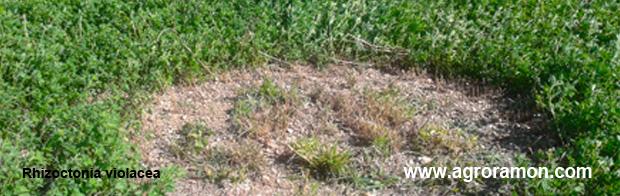 Rhizoctonia violacea en alfalfa