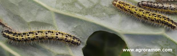 Oruga de la col (Pieris brassicae)