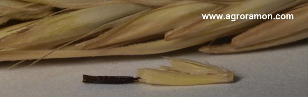 agalla del nematodo anguina