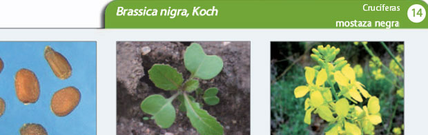 Las especies de malas hierbas más comunes en Valladolid